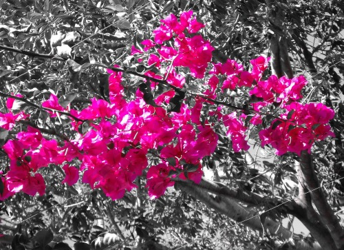 Hot_pink_in_nature